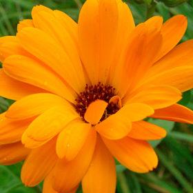 ringelblume natürliche pflanzliche erste hilfe hausapotheke hundehalter