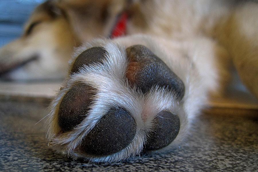 schwitzen hunde - hund schwitzen01 - Schwitzen Hunde? Tipps für heiße Tage