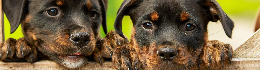 - header welpen kaufen01 - Hundewelpen verantwortungsvoll kaufen