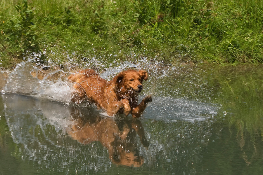 [object object] - hund wasser sprung2 - Schwimmen mit Hund
