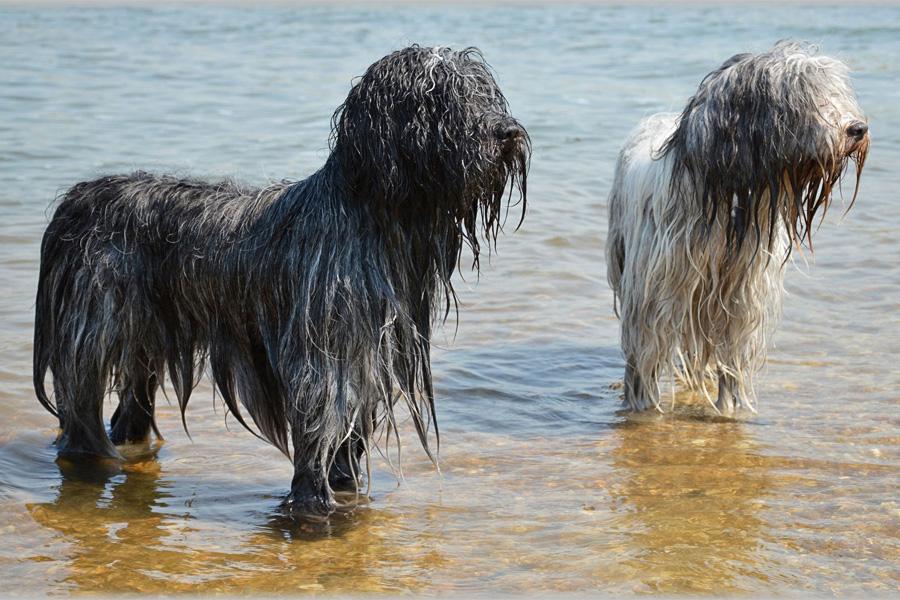 [object object] - nasse beagles2 - Schwimmen mit Hund